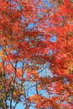Red leaves on trees in autumn of northeast of China. In autumn of northeast of China, Trees are turning to yellow and it is beautiful under blue sky Royalty Free Stock Images