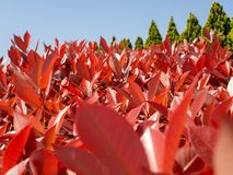 Red leaves trees and green nature royalty free stock photography