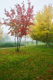 The red leaves of trees and lawn in fog Royalty Free Stock Images
