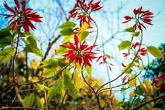 Red leaves. On trees royalty free stock image