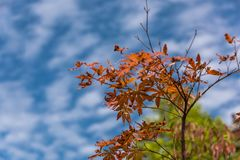 Red leaves. Under the blue sky. Guangyuan City, Sichuan Province, China stock images