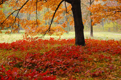 Red leaves under an oak tree in autumn Royalty Free Stock Photo