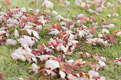 Red Leaves on Vibrant Green Grass Royalty Free Stock Photos