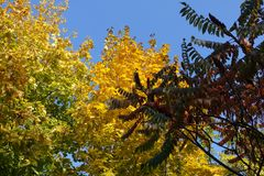 Red leaves of vinegar tree and yellow and green leafage of maple. In autumn Stock Image