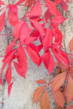 Red leaves Virginia Creepers Royalty Free Stock Photography