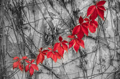 Red leaves on wall Royalty Free Stock Photo