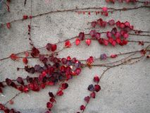 Red Leaves on the Wall Stock Images