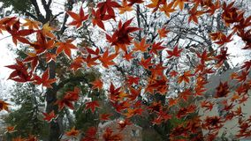 Red leaves on water. Red maple leaves on windshield in the rain Stock Photos