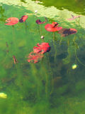 RED LEAVES OF WATER PLANTS IN GREEN WATER. ROUND RED LEAVES OF WATER PLANTS  IN GREEN WATER, SUNNY DAY, SEAWEED, WATER GARDEN, FLOWERS BUD Royalty Free Stock Photography