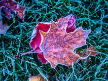 Red leaves. These leaves were caught by the frost of the morning Royalty Free Stock Photography