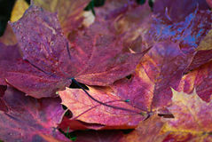 Red leaves Stock Images