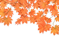 Red  leaves on  white  background Stock Image