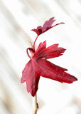 Red Leaves on White Background Stock Images