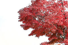 Red leaves on white background Royalty Free Stock Photography