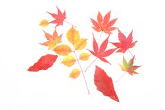 Red leaves in a white background Stock Image