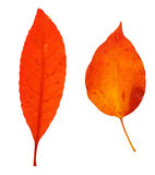 Red leaves in a white background Stock Images