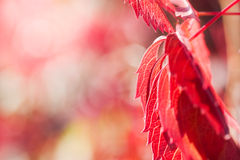 Red leaves of the wild grape on a nature background. Royalty Free Stock Image
