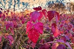 Red leaves of wild grapes, autumn season Royalty Free Stock Photos