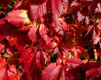 Red leaves wild grapes. Royalty Free Stock Photos