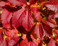 Red leaves wild grapes. Stock Photography
