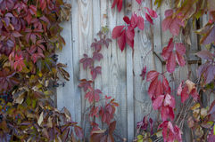 Red leaves of wild grapes twine on the wall  in autum Royalty Free Stock Image