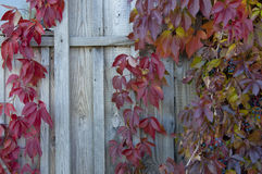 Red leaves of wild grapes twine on the wall of old barn Stock Image