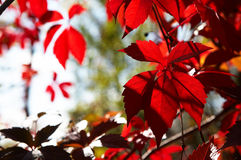 Red leaves wild vine. Autumn season red Royalty Free Stock Images