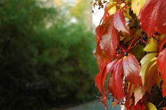 Red leaves of wild wine Stock Images