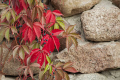 The red leaves of wild wine. Royalty Free Stock Image