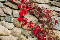 The red leaves of wild wine. Stock Photos