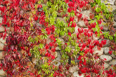 The red leaves of wild wine. Royalty Free Stock Images