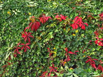 Red leaves of woodbine and green leaves of ivy Royalty Free Stock Photos