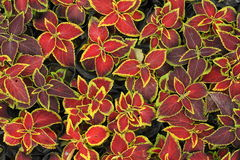 Red leaves with yellow edges background.  Royalty Free Stock Photos