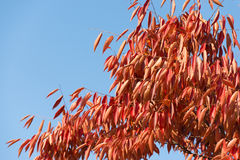 Red leaves of zelkova tree. In autumn stock photo