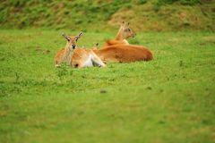 Red Lechwe Royalty Free Stock Photo