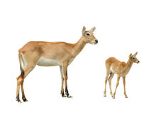 Red lechwe Stock Photo