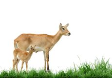 Red lechwe Stock Photos