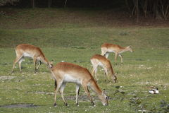 Red Lechwe. The pack of red lechwes (Kobus leche) on the meadow stock images