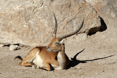 Red Lechwe Royalty Free Stock Images