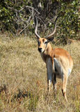 Red Lechwe. Moremi Game Reserve, Botswana Stock Photos