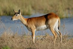 Red lechwe antelope Royalty Free Stock Photo