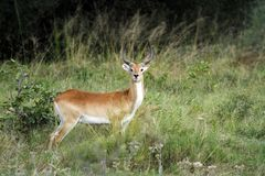 Red Lechwe Antelope Stock Photo