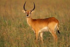 Red lechwe antelope Royalty Free Stock Photo