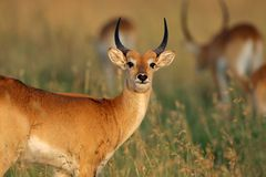 Red lechwe antelope Stock Photography