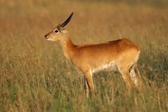 Red lechwe antelope Stock Image