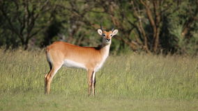 Red lechwe antelope Stock Images