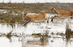 Red Lechwe Antelope - Botswana. A male and female Red Lechwe antelope (Kobus leche) running through shallow water in the Chobe National Park in Botswana Stock Photography