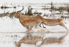 Red Lechwe Antelope - Botswana. A group of Red Lechwe antelopes (Kobus leche) running through shallow water in the Chobe National Park in Botswana Royalty Free Stock Photo