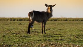 Red lechwe Antelope in the Chobe Natural Park in Botswana, Africa stock photos