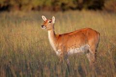 Red lechwe antelope Stock Image